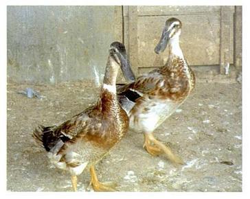 ternak ayam negeri