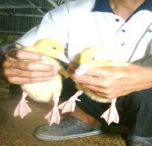 gambar anak bebek peking